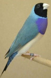 blue back gouldian finch
