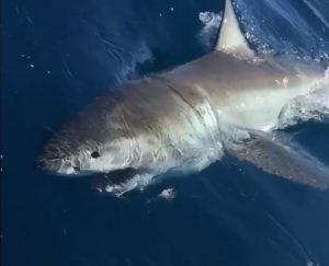 great white shark caught